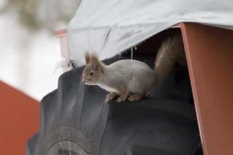 Red Squirrel (Sciurus Vulgaris) on Wheel of Snow Plough, Oulu, Finland, March Fotografie-Druck