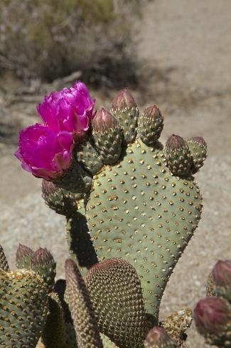 Beavertail Cactus Flower, Lone Pine, Inyo County, California Fotografie-Druck