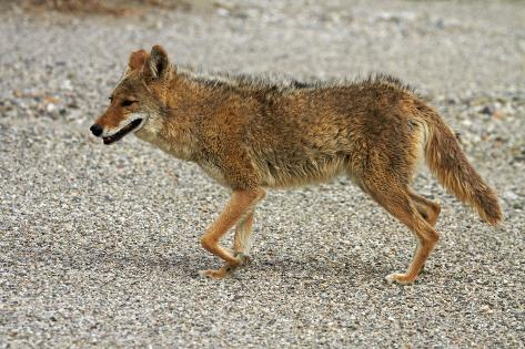 Coyote at Badwater Basin, Death Valley NP, Mojave Desert, California Fotografie-Druck