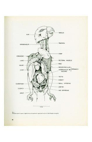 Descriptive Parts of a Parrot no. 25 Kunstdruck