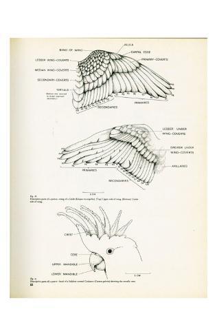 Descrptive Parts of a Parrot no. 23 Kunstdruck