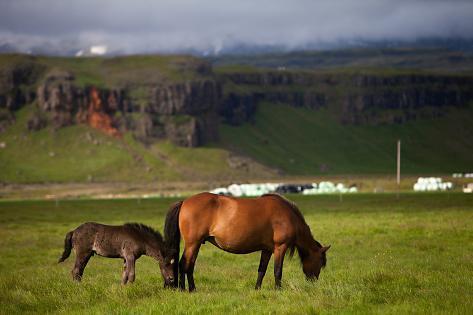 Icelandic Horses Fotografie-Druck