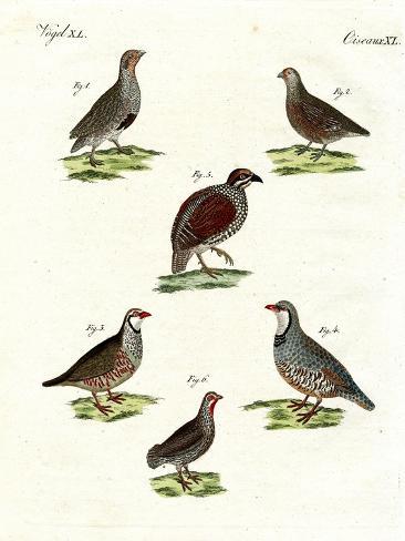 Different Kinds of Partridges Giclée-Druck