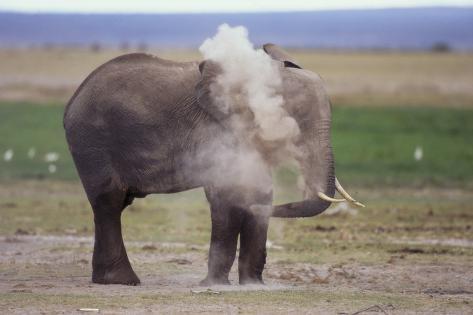 African Elephant Dusting Fotografie-Druck