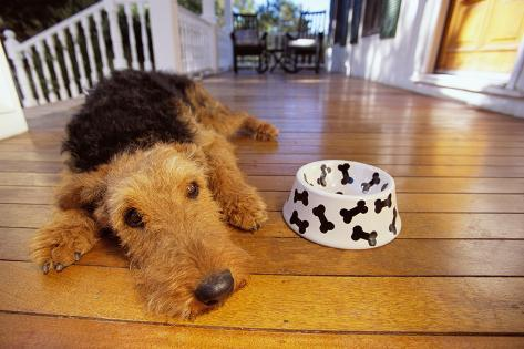 Airedale Terrier Lying by Food Dish Fotografie-Druck