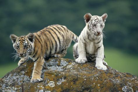 Bengal Tiger Cubs Perched on Rock Fotografie-Druck