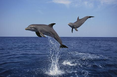 Bottlenosed Dolphins in Caribbean Sea Fotografie-Druck