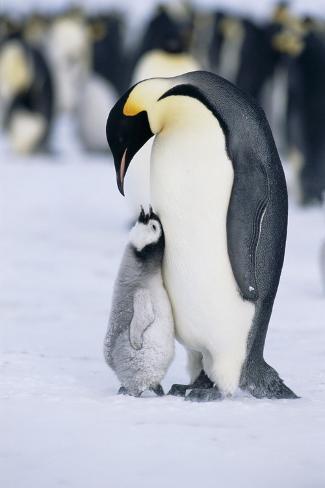 Chick Looking up at Adult Emperor Penguin Fotografie-Druck