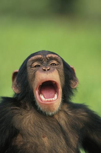 Chimpanzee Yawning Fotografie-Druck