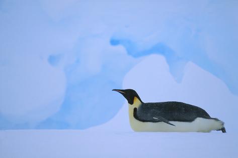 Emperor Penguins Sliding on Stomach Fotografie-Druck