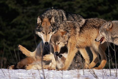 Gray Wolf Pack Fotografie-Druck