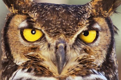 Great Horned Owl Fotografie-Druck