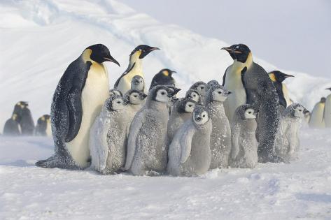 Group of Penguins Fotografie-Druck