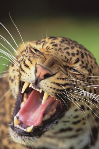 Hissing Leopard Fotografie-Druck