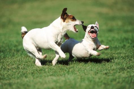 Jack Russells Chasing Each Other in Play Fotografie-Druck