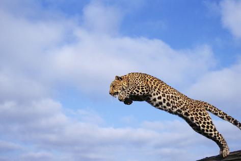 Leopard Jumping Fotografie-Druck