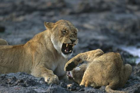 Lions Playing Fotografie-Druck