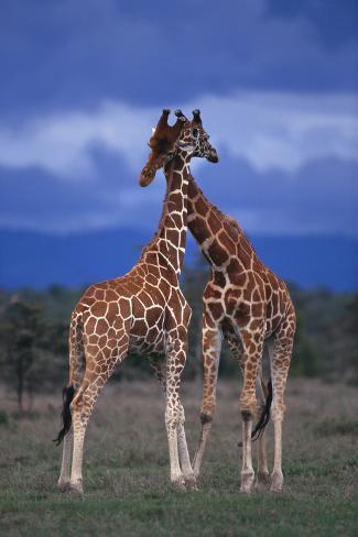 Male Giraffes Necking Fotografie-Druck