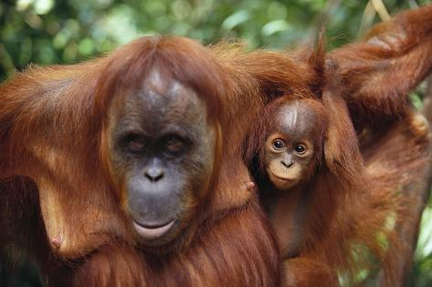 Mother and Young Orangutan Fotografie-Druck