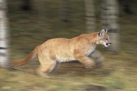 Mountain Lion Running Fotografie-Druck