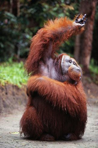 Orangutan Reaching Up Fotografie-Druck
