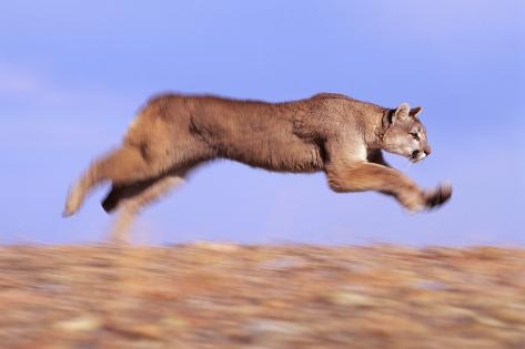 Racing Mountain Lion Fotografie-Druck