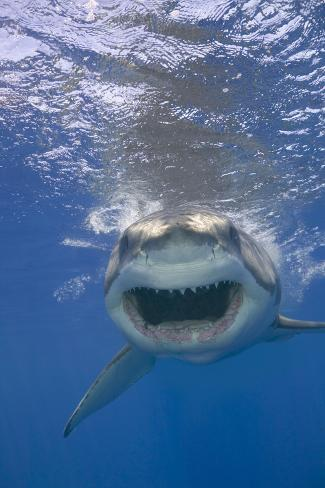 Shark Advancing with Bared Teeth Fotografie-Druck