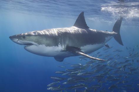 Shark Swimming with School of Fish Fotografie-Druck