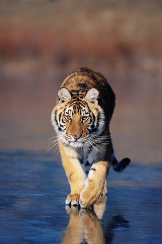 Tiger Walking on Wet Surface Fotografie-Druck