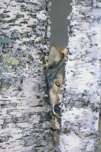 Wolf Hiding between Trees Fotografie-Druck