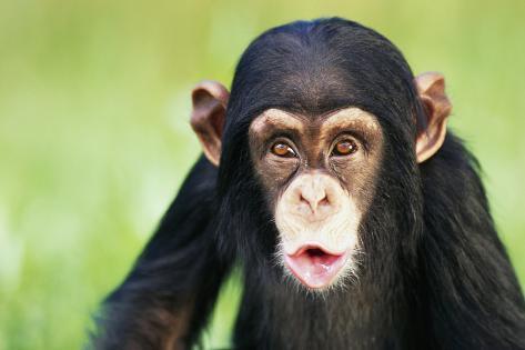 Young Chimpanzee Puckering Fotografie-Druck