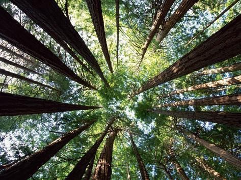 Redwood Grove Fotografie-Druck