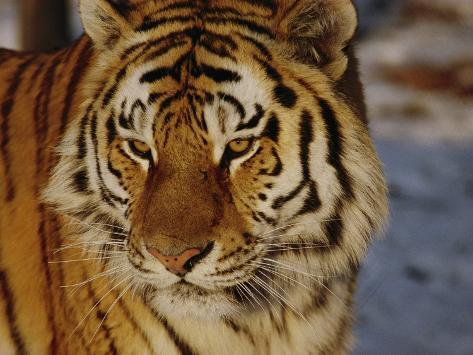 A Close View of a Siberian Tiger Fotografie-Druck