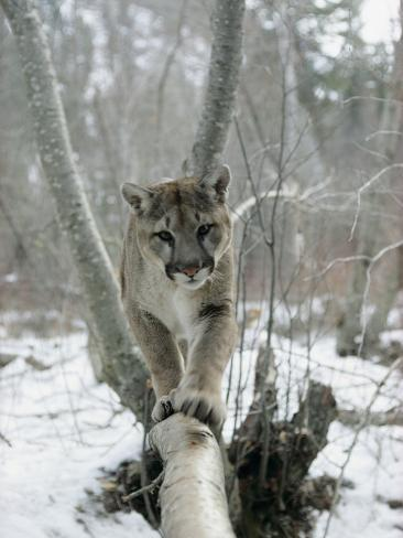 A Mountain Lion Walks Along a Tree Branch in Winter Fotografie-Druck