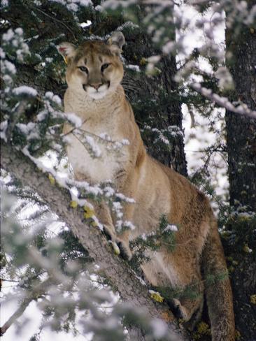 Beautiful Shot of a Mountain Lion in a Snowy Tree Fotografie-Druck