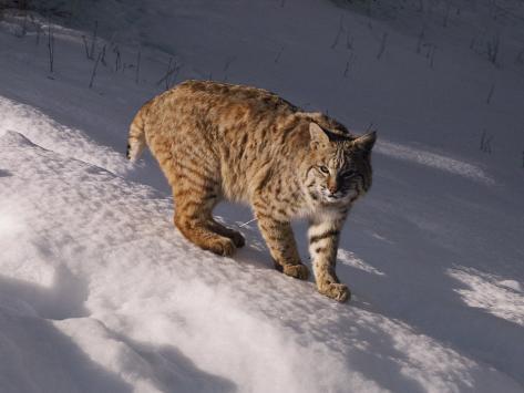 Bobcat prowls over the snow Fotografie-Druck