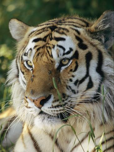 Portrait of a Tiger Fotografie-Druck