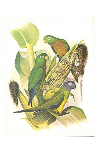Dusky, Olive and Aztec Conures no. 400 Kunstdruck