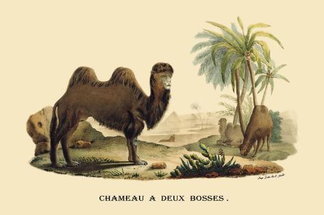 Chameau a Deux Bosses Wandtattoo