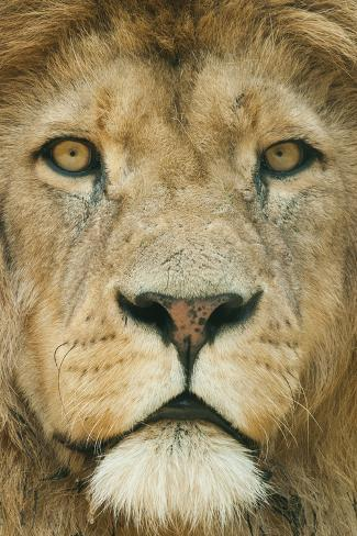 Lion (Panthera Leo) Close Up Portrait of Male, Captive Occurs in Africa Fotografie-Druck