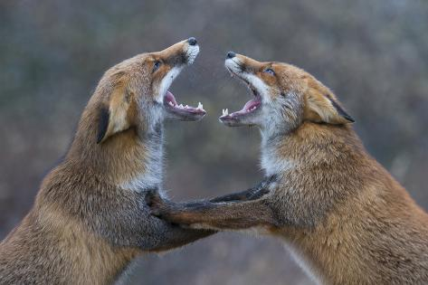 Red Foxes (Vulpes Vulpes) Fighting Fotografie-Druck