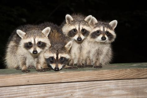 Four Cute Baby Raccoons on A Deck Railing Fotografie-Druck