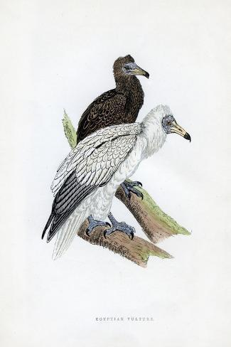 Egyptian Vulture, C19th Century Giclée-Druck