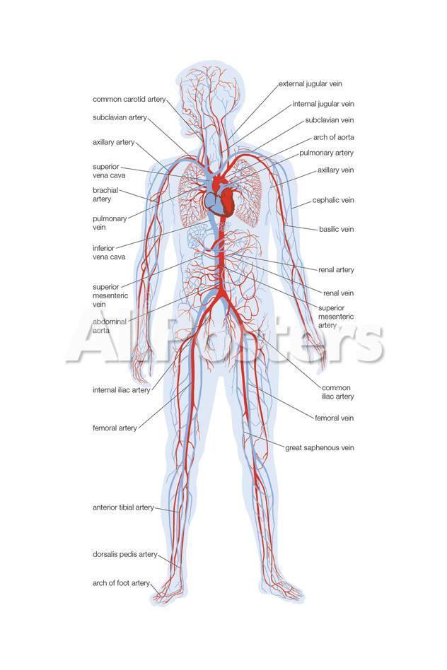Arteries And Veins Poster Von Encyclopaedia Britannica Bei Allposters