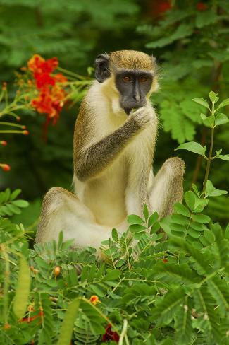 Green Monkey (Cercopithecus Aethiops Sabaeus) in Niokolo Koba National Park Fotografie-Druck