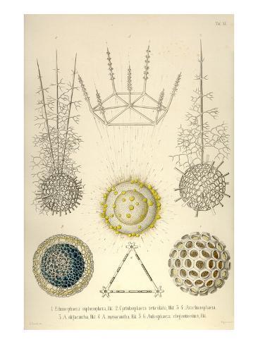 Ethmosphaera Siphonophora, Cyrtidosphaera Reticula, Arachnosphaera, A. Oligacantha, etc. Kunstdruck