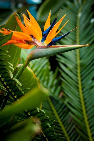 Bird Of Paradise Flower Fotoprint Van Evantravels Bij Allpostersnl