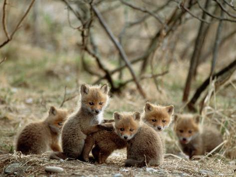 Fox Cubs Fotografie-Druck