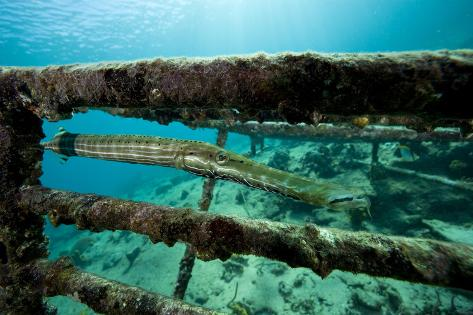 Trumpetfish (Aulostomus Maculatus) on Wreck Fotografie-Druck