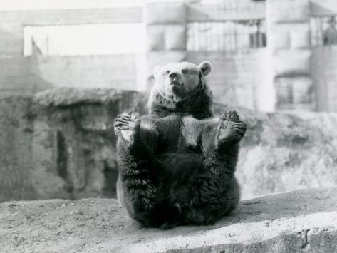 A Brown Bear Sitting Back and Holding its Hind Feet with its Paws Fotografie-Druck